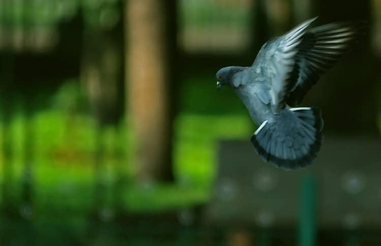 Fotka holuba, který přistává na zem