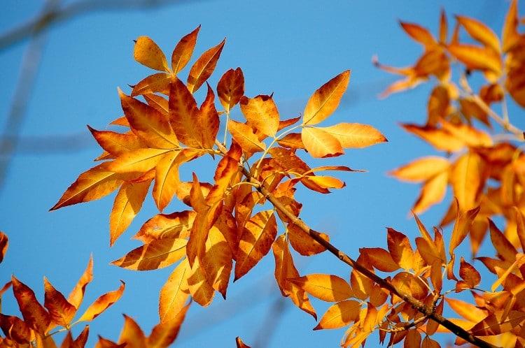 Podzimní listí zbarvené do oranžova
