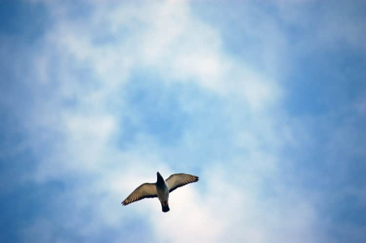 Fotografie letícího holuba zachyceného zespodu