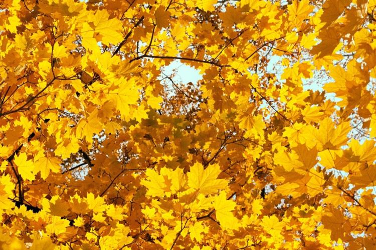 Podzimní žluté listí