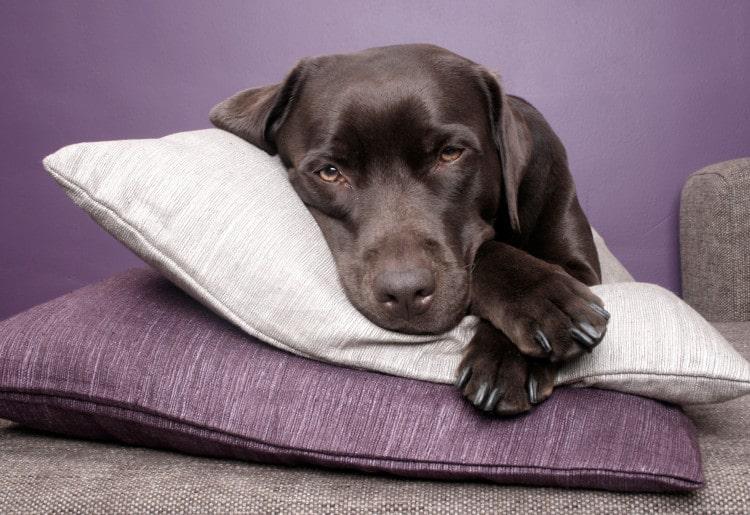 Černý pes spí na vrstvě polštářů