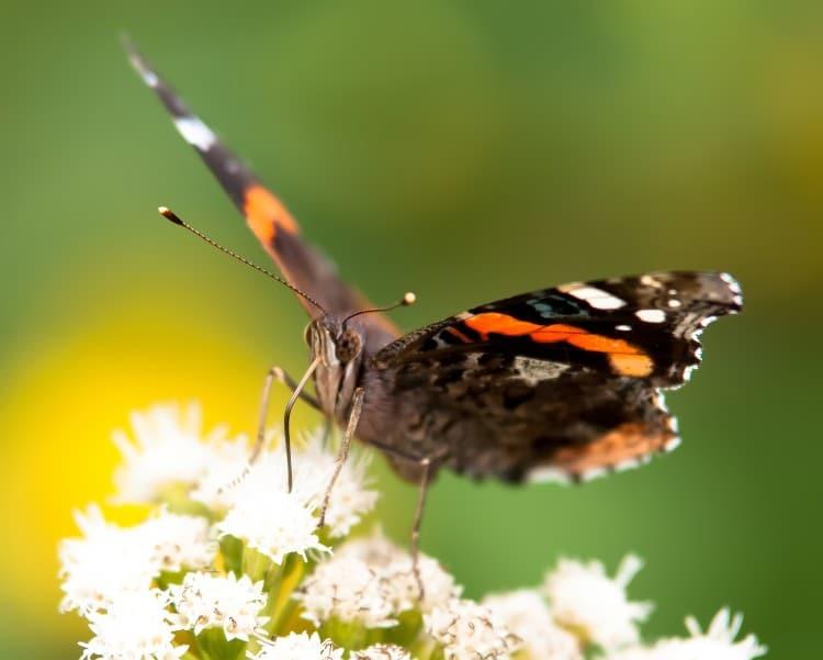 Motýl, který se krmí na bílé květině
