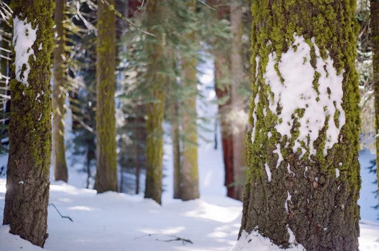Zasněžený, jehličnatý les v zimě