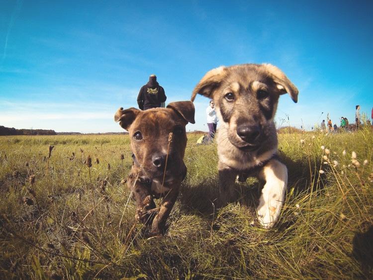 Dvě štěňata běží po louce