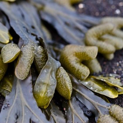 Alga Forte – poznejte léčivou sílu vodních řas