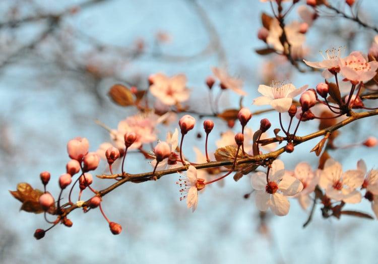 Kvetoucí třešňový strom