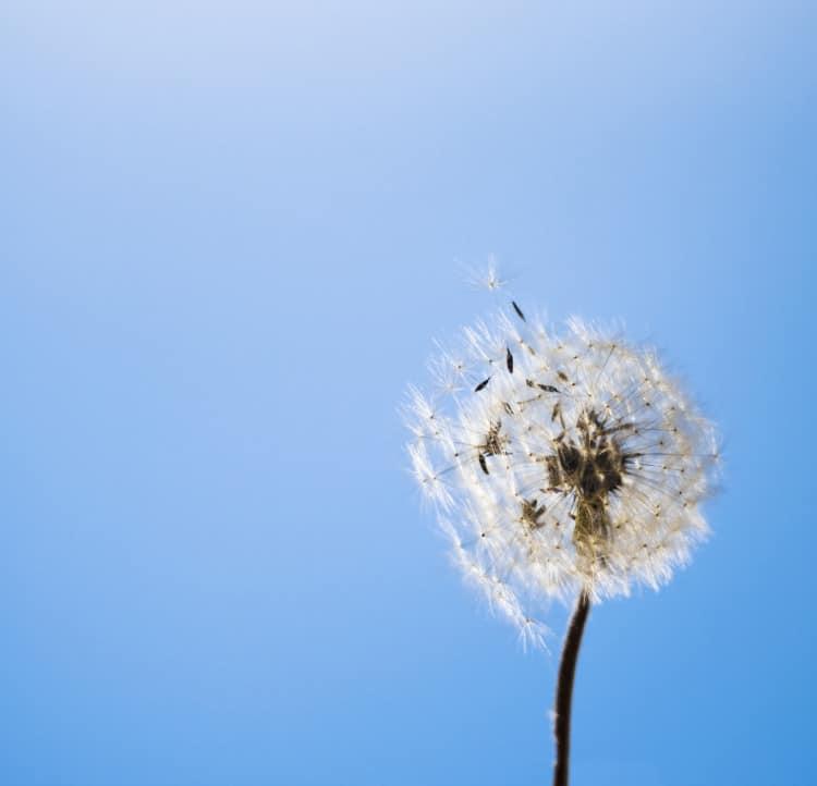 Pampeliška focená s modrou oblohou