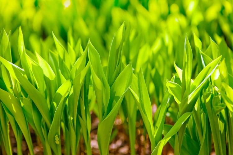 Jarní rašení nové trávy