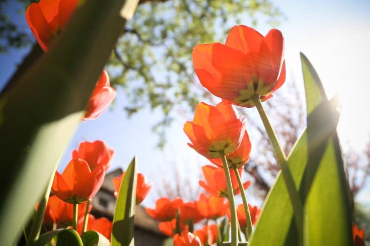 Fotka jarních tulipánů