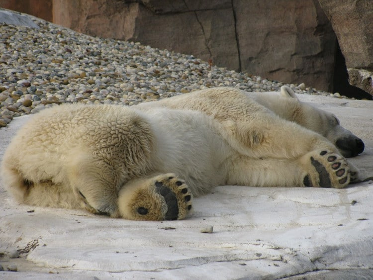 spící lední medvěd